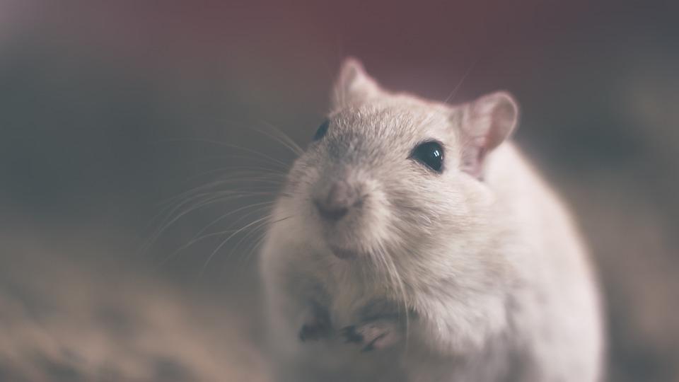 Instructions pour la lutte contre les rats dans la maison et le jardin
